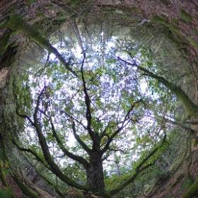 The Wholly Oak Tree in Solliden by Iglekärr Gammelskog in Ale kommun, Västra Götaland, Sweden #theta360