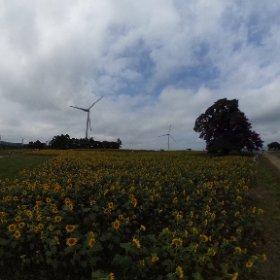 会津布引高原のひまわりと風車です #theta360