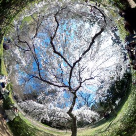 京都御苑・枝垂れ桜 #theta360