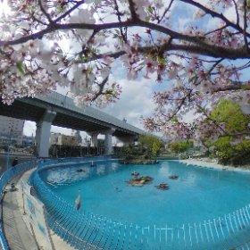 天王寺動物園の桜 #theta360
