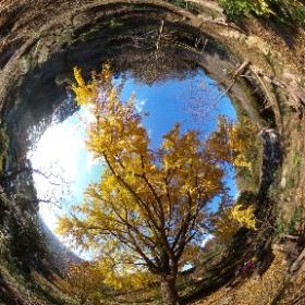 観察の森・大イチョウの黄葉2017 1of2 妙見谷堰堤下 #紅葉 #黄葉 #YAMAP #ヤマレコ #theta360