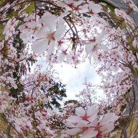 静岡県御前崎市の桜ヶ池に咲く桜です。 #theta360