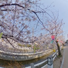 RICOH THETA Z1 Test shooting 2/2 Location; 柳橋の桜(八尾市久宝寺) HDR Ev+0.7 #thetaz1 #theta360