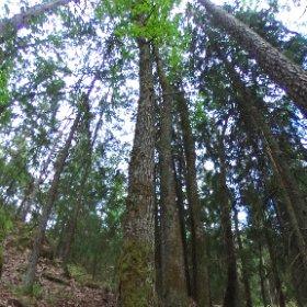 Paraplyträd nr p14 i Skarnhålans gammelskog. Genom att sponsra trädet skyddar du det och dess närmaste omgivning för evigt. https://naturarvet.se/paraplytrad-och-skogsrutor-i-skarnhalan/ #theta360
