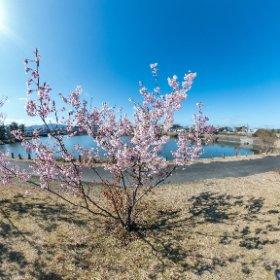 瀬田、一里山公園の桜 Z1 Stitcher iOS + Lightroom CC f5.6 ISO80 1/1000sec #thtaz1 #theta360