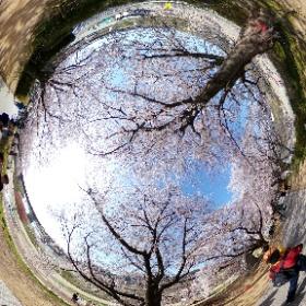 2018年3月31日 八幡市・背割堤 #sakura3d