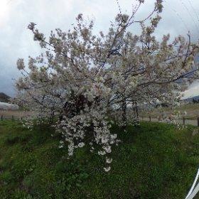 旧・会津高田町にある米沢の千歳桜です、法用寺の近くですけど、歩いて行くのは大変そうです #theta360