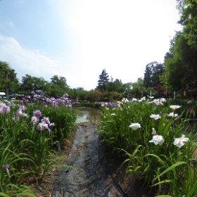 あやめ祭り、やっと咲いてた!伊佐須美神社、人も一杯 #theta360