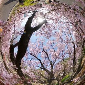 春恒例。桜の中でシータZ1。なんと、 #タカトオコヒガンザクラ はもう満開過ぎて散りはじめてます。おそろしや。 #sakura3d #thetaz1 #theta360