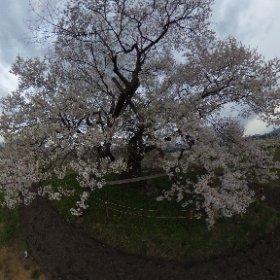 たまたま通りかかったら、衝撃的なネーミングの桜があるようだったので行ってみました(笑)そしたら、周りが果樹畑でりんごの花とかも咲いててすごくいい感じでした!桜の名前は馬の墓種蒔桜だそうです(笑)これも旧・会津高田町にあります #theta360