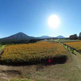 生駒高原のキバナコスモスです。