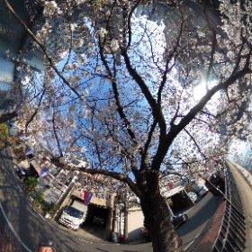 2018年の桜。 #sakura3d  #theta360