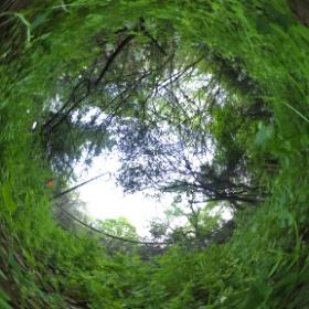 野草の目線 ムラサキケマン