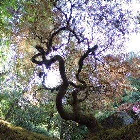 Under Japanese maple tree. #theta360