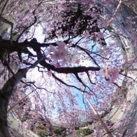 吉祥寺のしだれ桜の中でシータ。吉祥寺の桜、超穴場だわ。さすが吉祥寺。吉祥寺という街ではなく、吉祥寺というお寺ですよ為念。 #吉祥寺