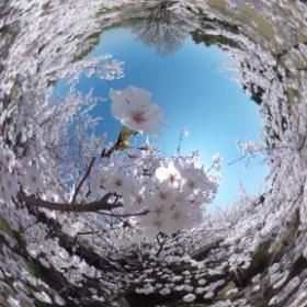 Full on Spring in Miike Park, Fukuoka