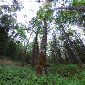 Paraplyträd nr p16 i Skarnhålans gammelskog. Genom att sponsra trädet skyddar du det och dess närmaste omgivning för evigt. https://naturarvet.se/paraplytrad-och-skogsrutor-i-skarnhalan/ #theta360