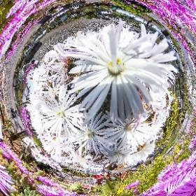 この360度写真は、静岡県御前崎市の海鮮なぶら市場の北側にある御前崎エコパーク内で咲いている花であります。THETAプラグインのタイムシフトシューテングを使用して、花の180度写真2枚を上下に配置して、一枚の360度写真にしました。 #theta360