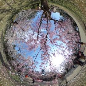 枝垂桜の下で。 #弘前公園 #弘前 #桜 #theta360