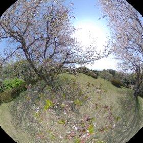 佐賀県小城市牛津町グリーンパーク 桜(ちょっと散りはじめの頃) #theta360