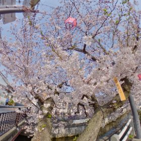 RICOH THETA Z1 Test shooting 1/2 Location; 柳橋の桜(八尾市久宝寺) HDR Ev+0.7 #thetaz1 #theta360