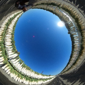 三浦海岸の冬の風物詩「大根カーテン」です。 冷たい潮風にさらされ、美味しい「たくあん」になるとのこと(^-^)/