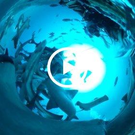 2019/03/24 南房総・伊戸 シャークタワー(2) #padi #diving #フリッパーダイブセンター #伊戸 #theta #theta_padi #theta360 #shark