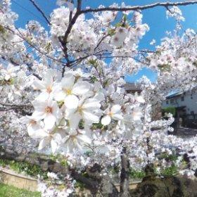 舞い散る桜テスト。  #sakura3d #theta360