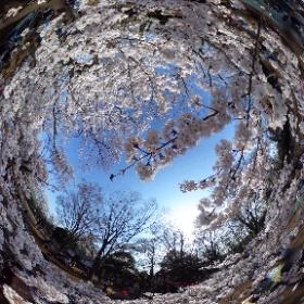 桜が咲いたのでTHETAで360度パノラマ写真を撮ってみた。一脚を使って桜の枝の棚田の上から撮影。