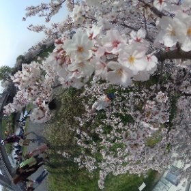 黒目川の桜 #sakura3d #theta360