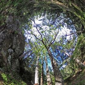 Paraplyträd nr p25 i Skarnhålans gammelskog. Genom att sponsra Grupp-ekarna så skyddas dom och den närmaste omgivningen för evigt. https://naturarvet.se #naturarvet #gammelskog #naturvård #skyddadnatur #natur #paraplyträd #ek #fadder