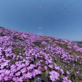 ジュピアランドひらたの芝桜を接写してみました、あまり360°カメラの効果はないですけど(^^;; #theta360