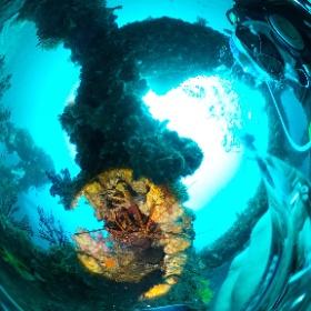 2020/01/30 岩・トライアングルのイセエビ  #padi #diving #FLIPPER-dc #フリッパーダイブセンター #岩 #theta #theta_padi #theta360 #群馬 #伊勢崎 #ダイビングショップ #ダイビングスクール #ライセンス取得