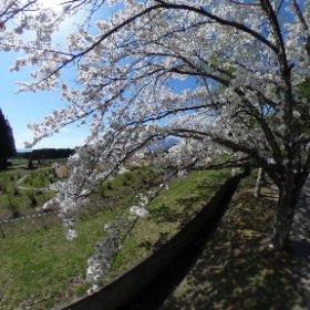 リステル猪苗代近くの路上から撮りました、桜の向こう側に磐梯山がいるんですが、見えていない(>_<) #theta360