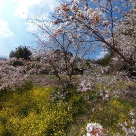 日出町『魚見桜』 #sakura3d #theta360