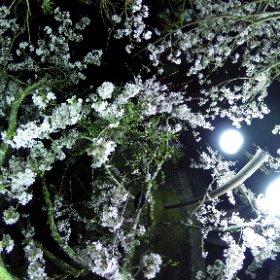 2019/04/19  細野ロードパーク 満開2 #sakura3d  #theta360