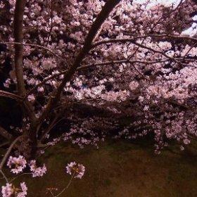 石手川公園の夜桜。通勤時と同じ道の桜だけど、夜はまた違う雰囲気でいいもんてす。 #松山市 #桜 #ソメイヨシノ #石手川公園 #夜桜 #theta360