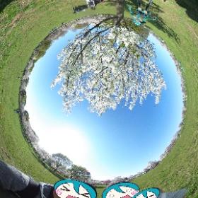 桜に囲まれて、桜の木ノ下で #miku360 #theta360