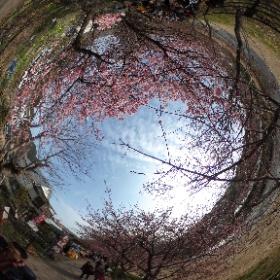 2018年2月25日の河津桜です。まだ、今年は3分咲きというところです。