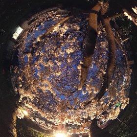 石手川河川敷で夜桜を撮影してみまTHETA。ライトアップの雰囲気を残しながらに色補正あり。