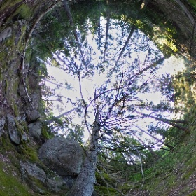 Paraplyträd nr p28 i Skarnhålans gammelskog. Genom att sponsra Klipp-granen så skyddas den och dess närmaste omgivning för evigt. https://naturarvet.se #naturarvet #gammelskog #naturvård #skyddadnatur #natur #paraplyträd #ek #fadder