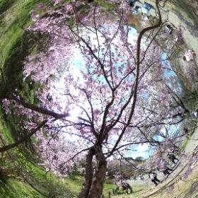 2017年4月15日 奈良・吉野山 #sakura3d