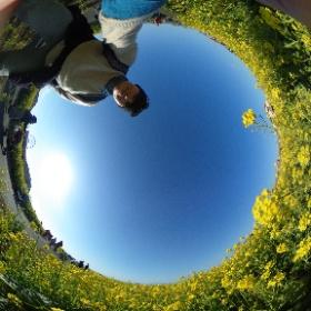 ソレイユの丘で菜の花の間にひまわりが!