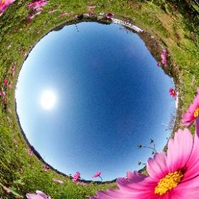 2020年静岡県掛川市の大東シオーネ近くで咲く、コスモスの様子です。 #theta360