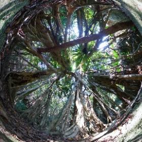 西武林道の森の中 ジャングルに迷い込んだような気分になる 大きなガジュマルが広がる場所  屋久島を自由に旅する GREEN MOUNT  #theta360
