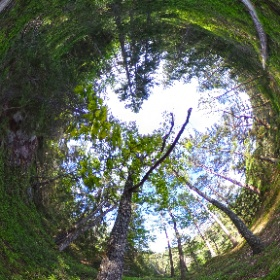 Paraplyträd nr p22 i Skarnhålans gammelskog. Genom att sponsra trädet så skyddas det och dess närmaste omgivning för evigt. https://naturarvet.se #naturarvet #gammelskog #naturvård #skyddadnatur #natur #paraplyträd #ek #fadder