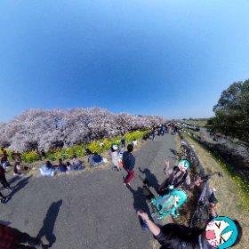 埼玉県熊谷市、荒川河川敷にて見渡す限りの桜と菜の花。天気にも恵まれて最高でしたね(°▽°) #miku360