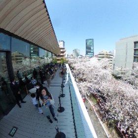 (STARBUCKS RESERVE ROASTERY TOKYOのテラスから観る目黒川の桜はめちゃくちゃキレイ! #sakura3d #theta360
