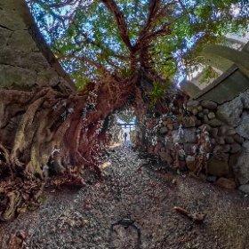 五島中通島奈良尾神社アコウ樹 #theta360