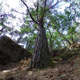 """Paraplyträd nr 5 """"Blåmosse Tallen"""" i Skarnhålans gammelskog. Genom att sponsra trädet skyddar du det och dess närmaste omgivning för evigt. https://naturarvet.se/paraplytrad-och-skogsrutor-i-skarnhalan/ #theta360"""